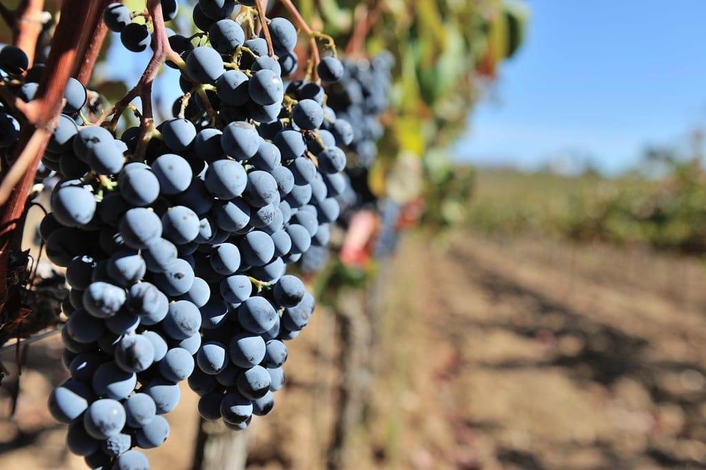 Portuguese wine vineyard